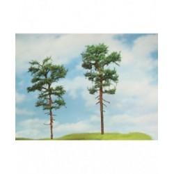 borovice vstat ( výška cca 16 cm )
